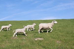 sheep-400591_1280