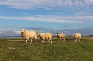 sheep-445337_1280